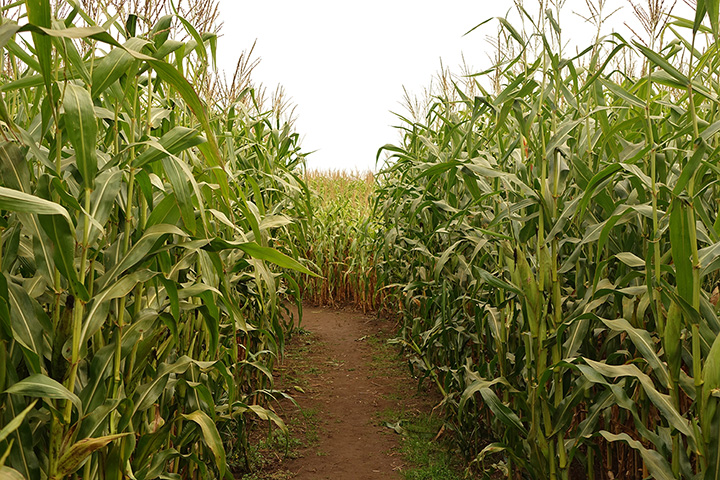 The Farm U-Pick Pumpkins and Corn Maze