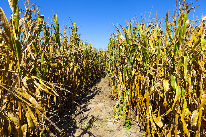 The Corn Maze in the Plains