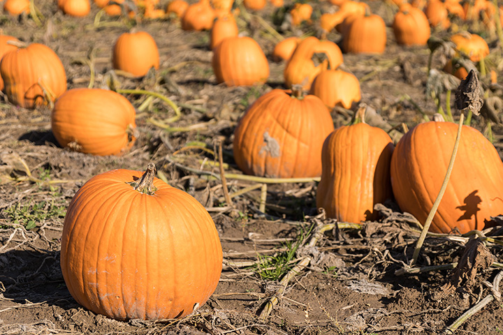 Gilbert Pumpkin Patch at Pecos Rd and Higley Road
